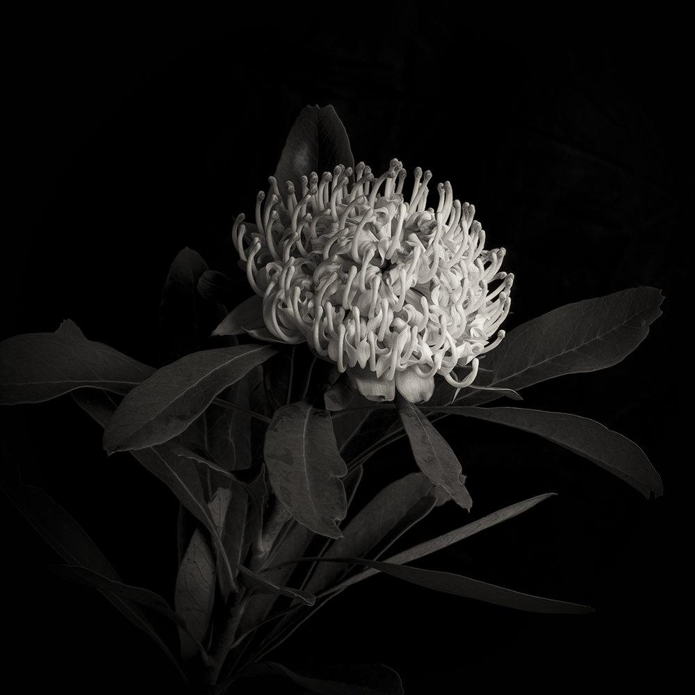 White Waratah on Black