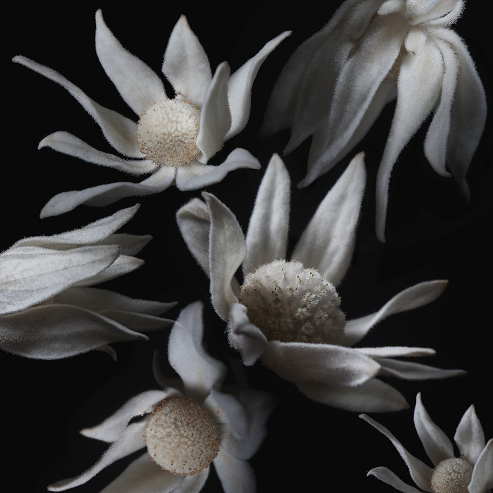 Flannel Flower I