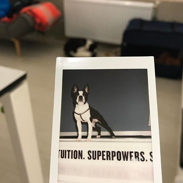 @bostonagentcooper taking a little disco-map @madconsort studio after his stellar performance of going to space 🚀 and back. #firsttake #pictureperfect #photogenic #bostonterrier #puppylove #teenagepup #poliroidfun #superpowers #timetravel #perfectdistraction