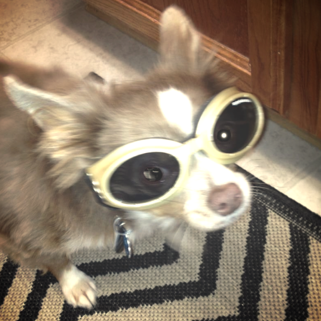Otis sporting his cool dog sunglasses.