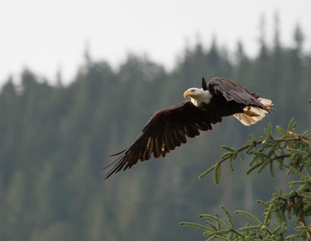 Eagle - Juneau, Alaska
