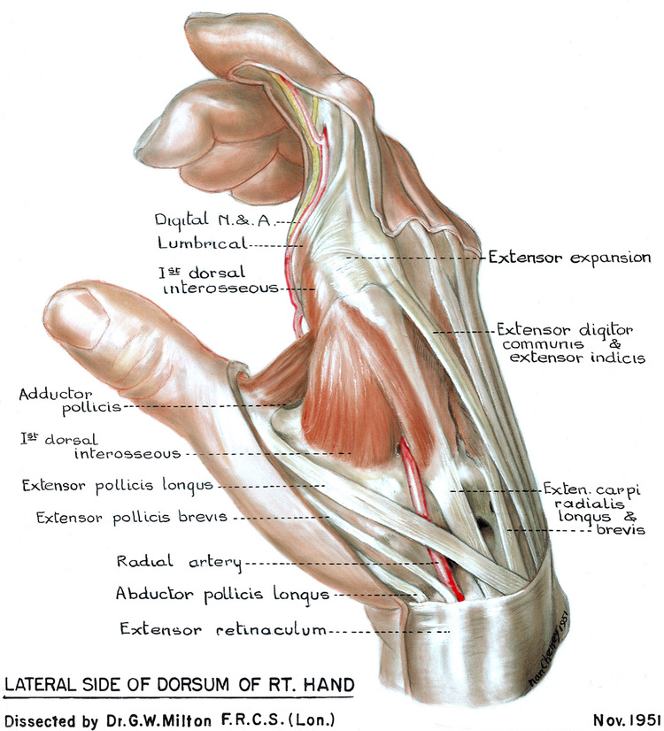 Hand anatomy — RE Touch Lab