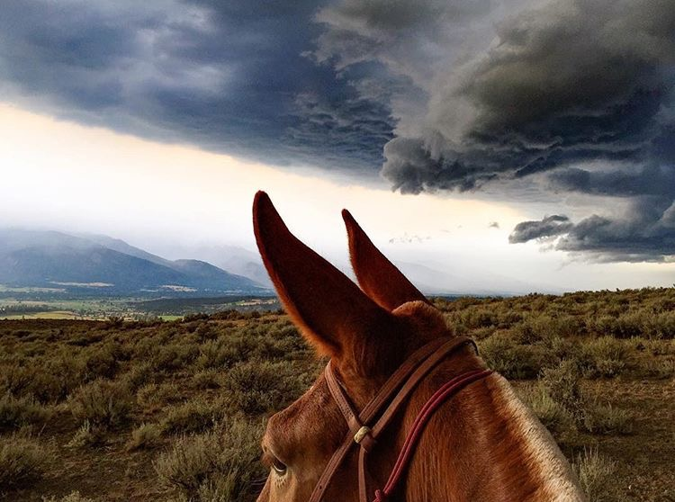 Can you hear me now?   Big thanks to 🔷 @bigskybandits 🔷 for sharing Miss Dulcinea the mule with us. Isn't she something? ^^ ....... Tag your photo #lifebetweentheears for a chance to he featured. Ride On! ^^ ........ #betweentheears #bitterrootvalley #bitterrootmountains #montana #equestriantravel #equestrianphotography #thankyou #britt #bigskybandits