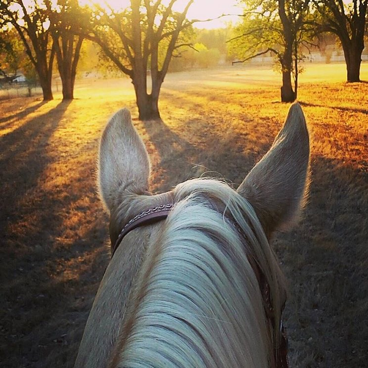 Thank you 🔷 @k26teach 🔷 for this beauty from Palo Cedro, California. 💫✨💫 ......... Tag your photo #lifebetweentheears for a chance to be featured. Ride On! ^^ ....... #aqha #palomino #equestriantravel #equinephotography #palocedro #california #thankyou #kaylieteach