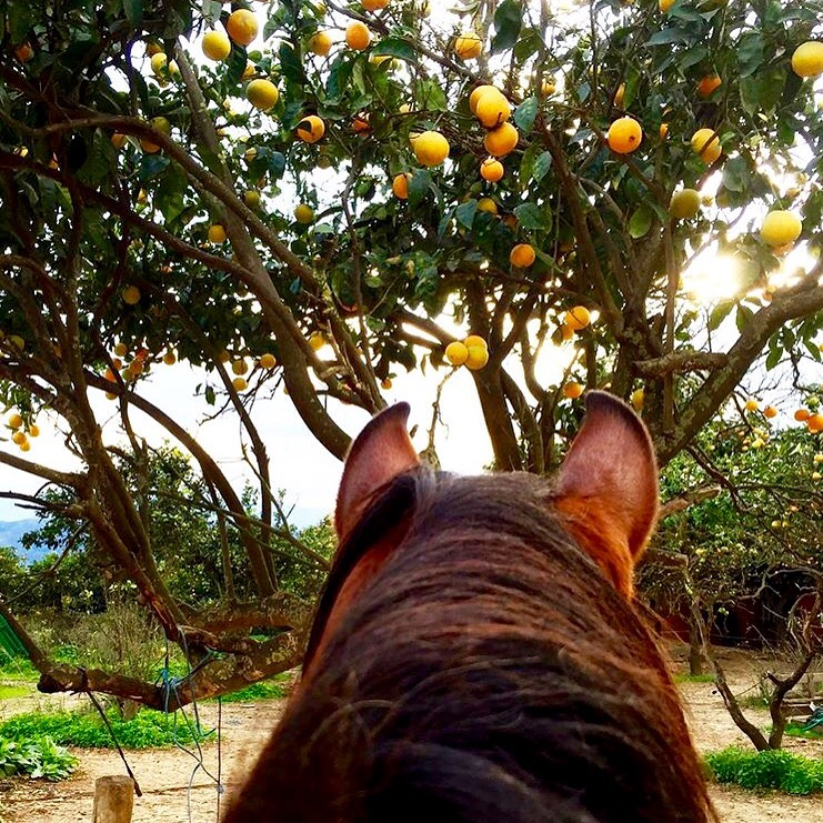 When you move from Norway to a sunny island. With orange trees. Way to go 🔷 @eline.staalesen 🔷 and thank you!  ......... And thanks to my friend @equi_geo for the heads up on this shot. I always appreciate a lead to a great photo/account.  ........ Tag your photo #lifebetweentheears for a chance to be featured. Ride On! ^^ ........ #equestriantravel #equestrianphotography #crete #greece #orangetrees #byebyesnow #hellosunnybeaches #thankyou #elinestaalesen