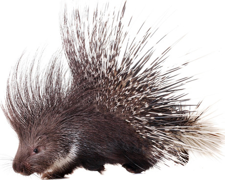 - Porcupines naturally shed there quillsPorcupines quills are released by contact with them, or they may drop out when the porcupine shakes its body. New quills grow to replace lost ones. From ancient times, it was believed that porcupines could throw their quills at an enemy, but this has long been refuted.