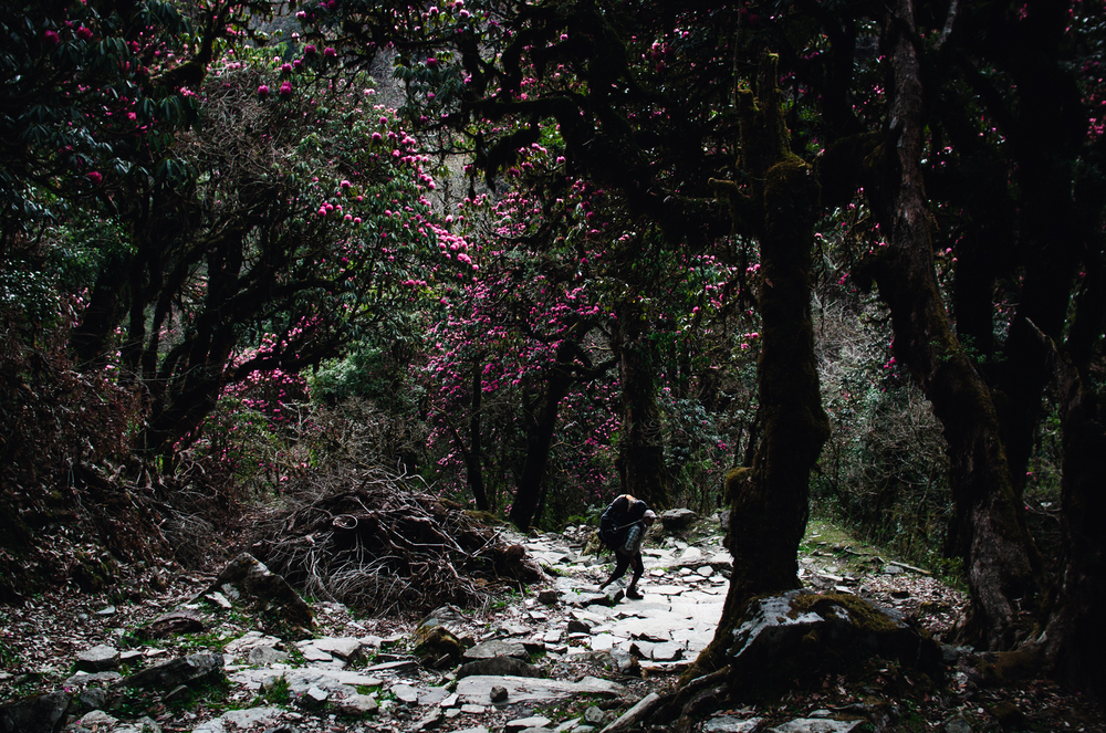 A porter stops to catch his breath beneath the shade of a rhododendron forest.