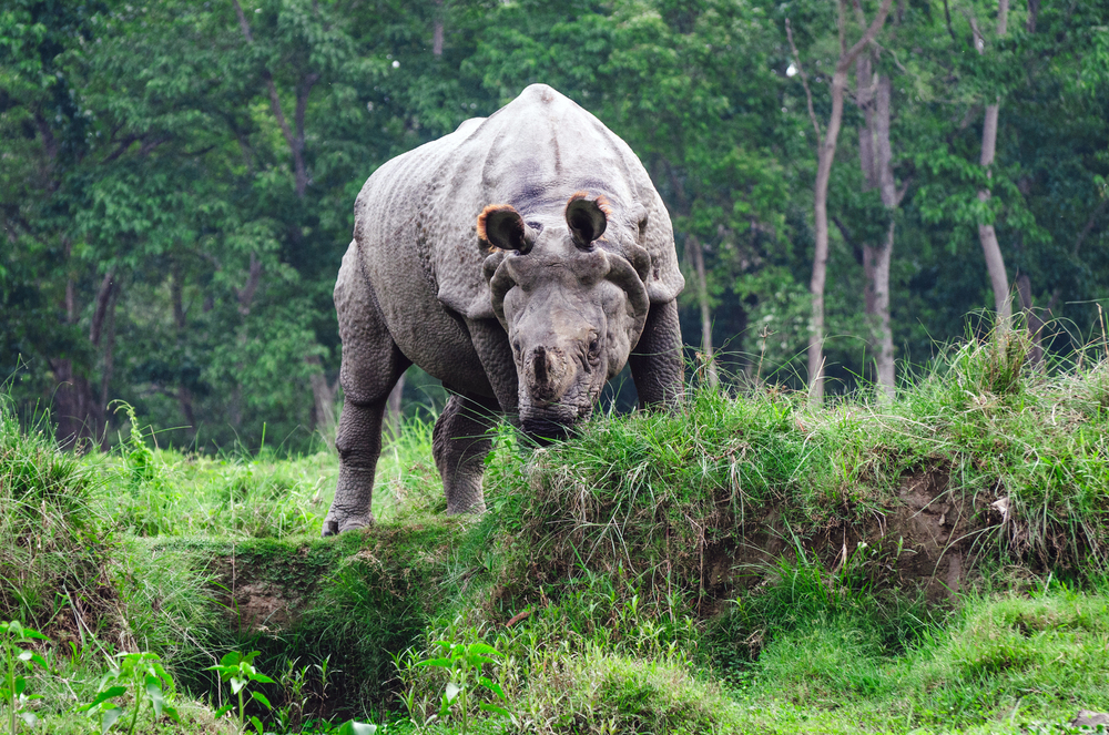 An indian one-horned rhinoceros. Chitwan, Nepal.