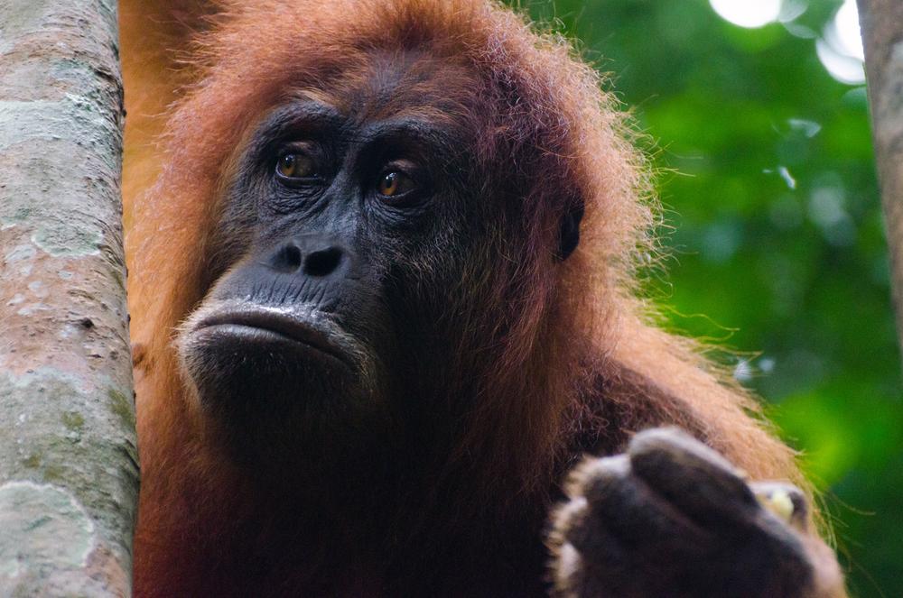 A Sumatran Orangutan. Bukit Lawang, North Sumatra.