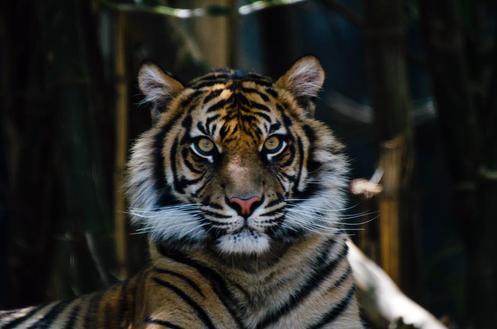 A Sumatran Tiger. North Sumatra.
