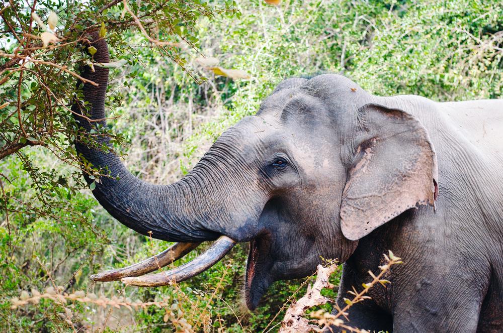 A Sri Lankan elephant. Yala, Sri Lanka.