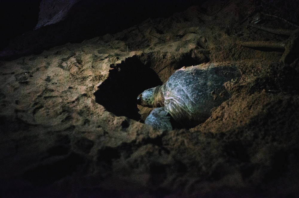 A green turtle lays its eggs on Rekawa Beach in Southern Sri Lanka