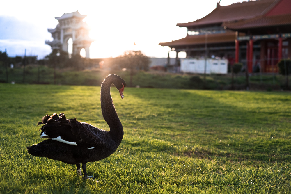 The black swan - endemic to Australia and New Zealand - and absent everywhere else in the world. Long before Europeans arrived in Australia they used the animal - thought to be fictional at the time - as a metaphor for something that did not exist.