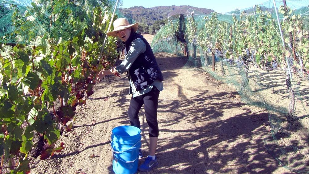 1 Ann-Marie Gauthier picking grapes