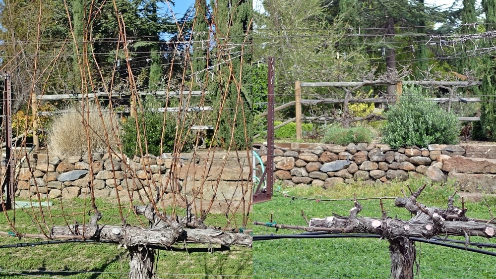 """1 Pruning: cut off last year's canes at 2"""""""
