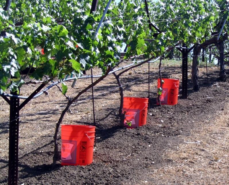 Irrigating new vines.jpg
