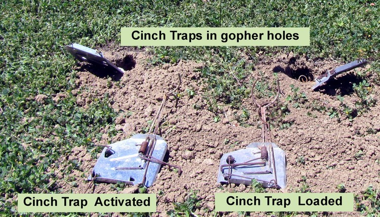 CinchTraps.jpg