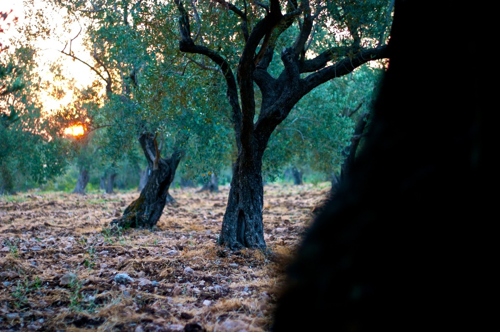 olive sunrise.jpg
