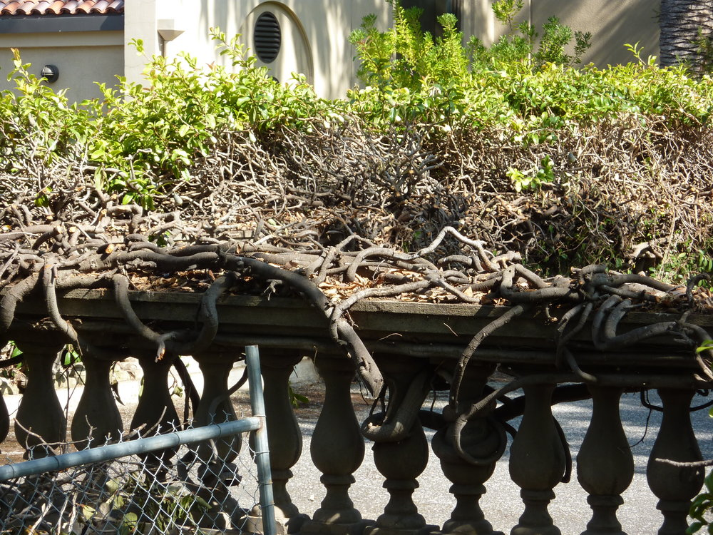 Vines over balustrade