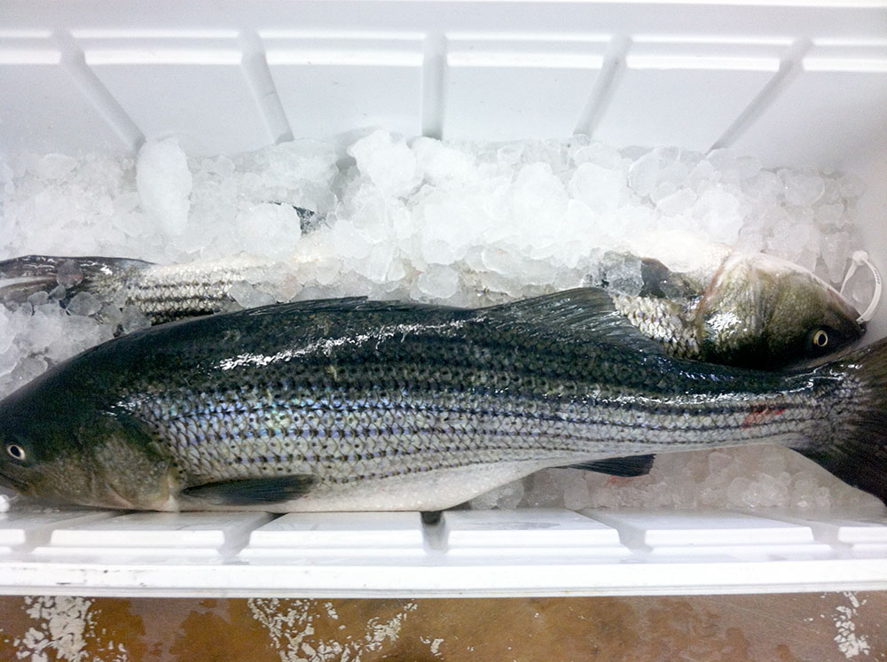 striped-bass-2-(28lb,-17lb)WB.jpg