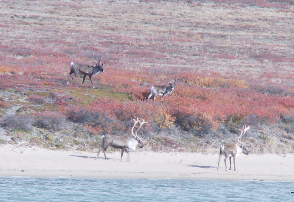 Fall Caribou, NCS Productions