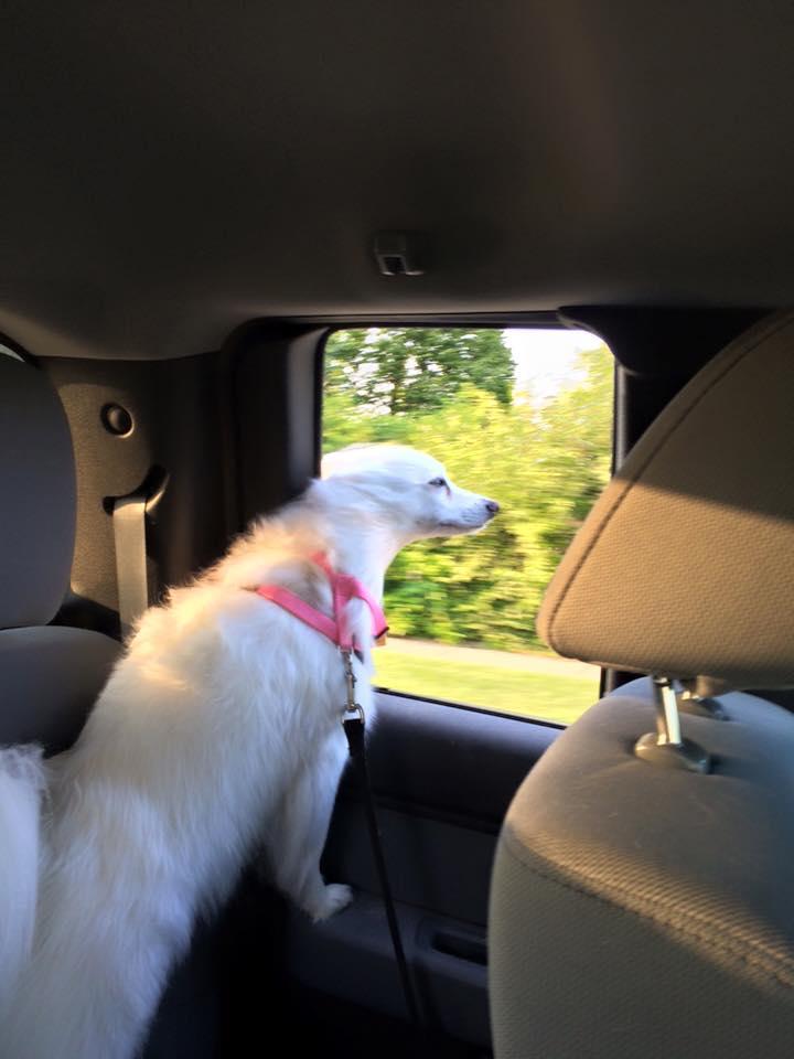 Maddy, American Eskimo Dog