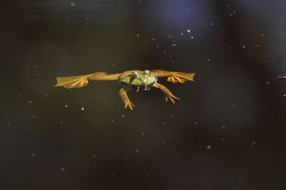 Bullfrog_1.jpg