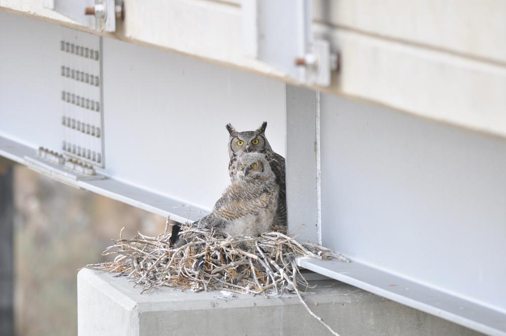 GreatHornedOwls_Nesting.jpg