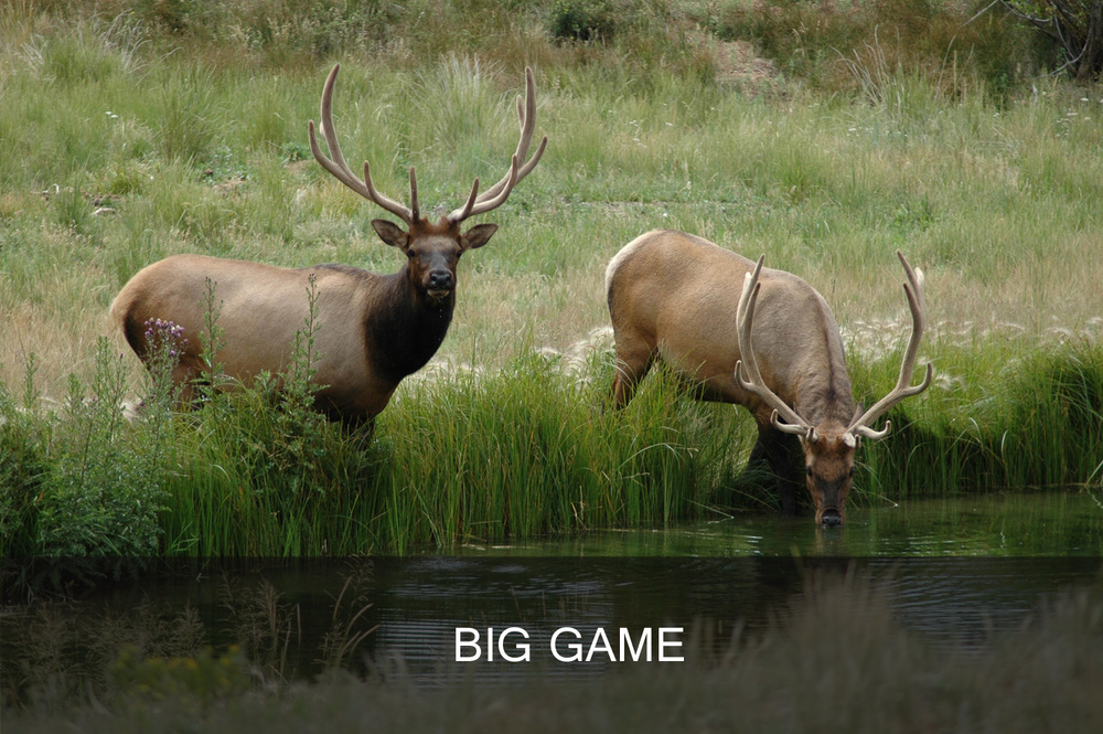 Bull elk (photo courtesy of Ron Schindler, use with permission only).jpg