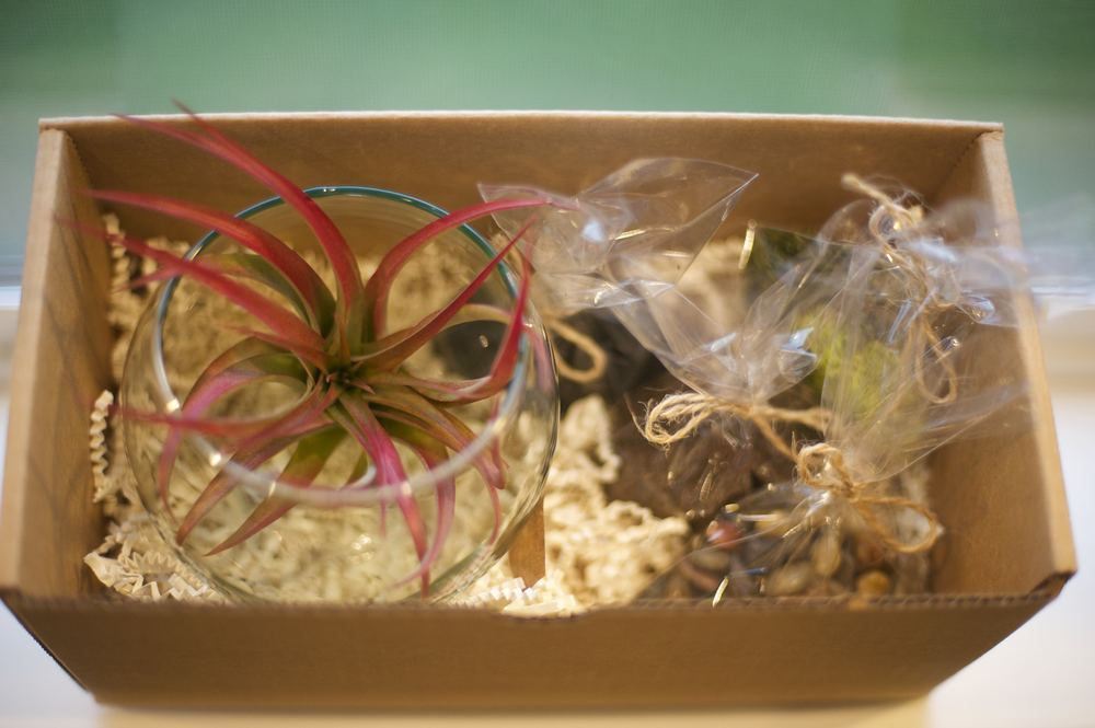 - Airplants should be removed from terrariums once a week and soaked for 30 minutes in water, or removed and sprayed 2-3 times per week and lightly shaken dry. (They can be sprayed in-place as well, but the glass may need more cleaning.) - Gently shake off water from base of plant - Bright indoor homes are preferred