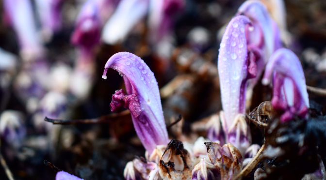 The Lathraea Clandestina (Purple toothwort).