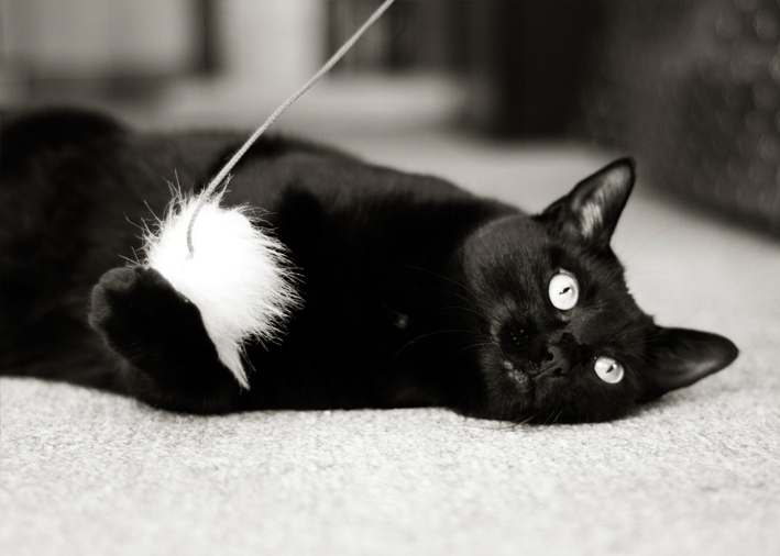 Black cat plays with mouse toy