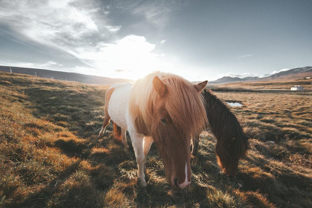 11.09.2016 // icelandic horseback riding.