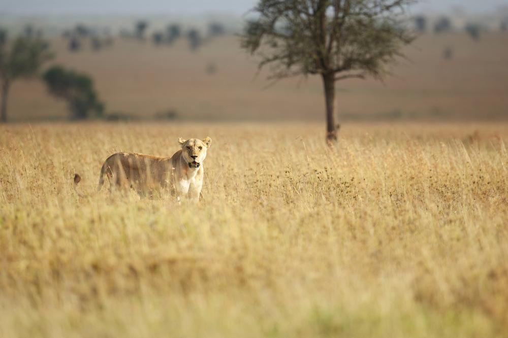 Lionness.jpg