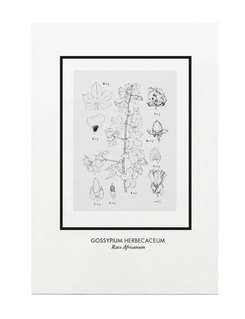 Gossypium Herbecaeum