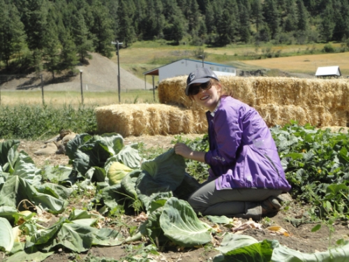 Sophia harvesting cabbages