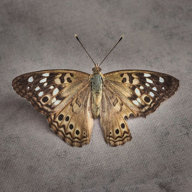 228/365 Missing piece #project365,  #nature #morningvisitor #mothsofinstagram #CM_macro #macro #naturesbeauty