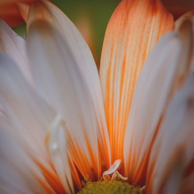 242/365 Stripes #project365 #floral #nature #cm_macro