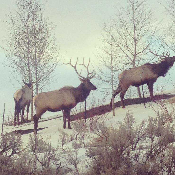 Bull Elk, East Gros Vente Butte, Jackson, WY
