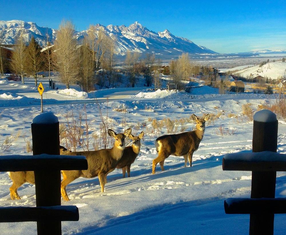 Mule Deer, East Gros Vente Butte, Jackson, WY