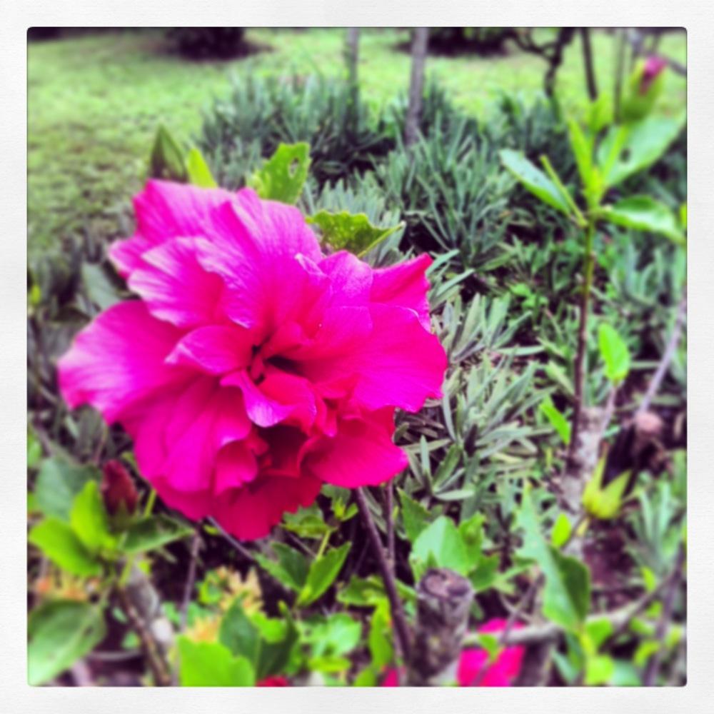 The Garden - Hibiscus.jpg