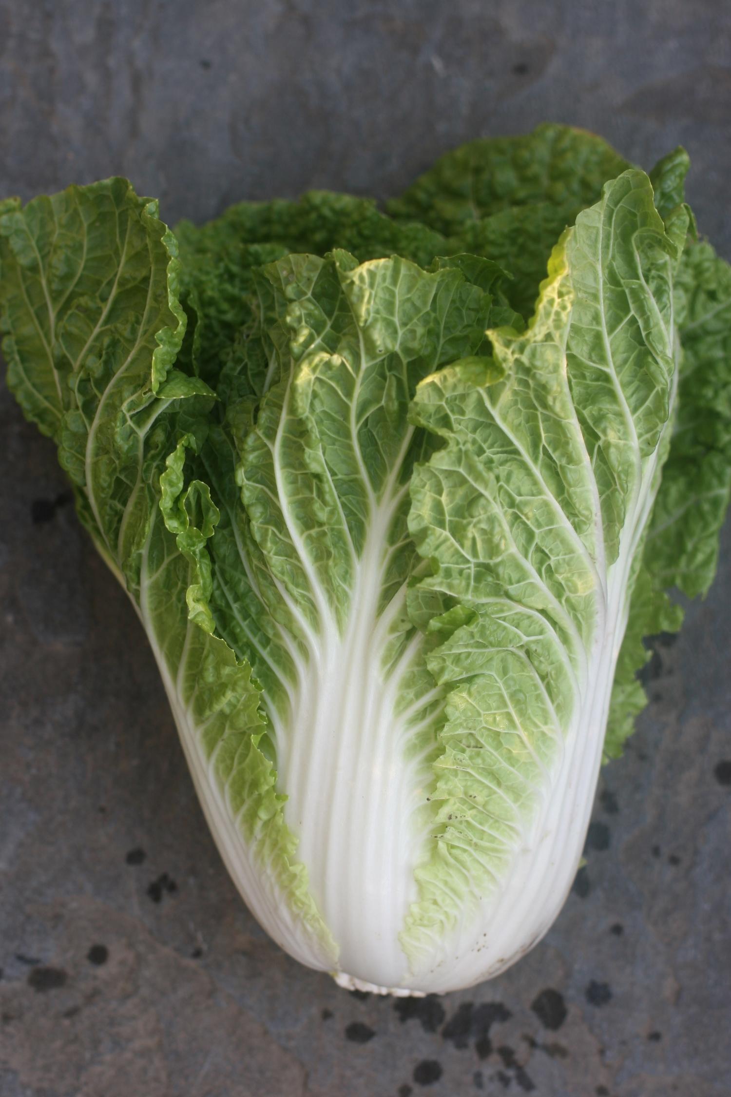 Cabbage Golden Earthworm Organic Farm Long Island Queens Csa