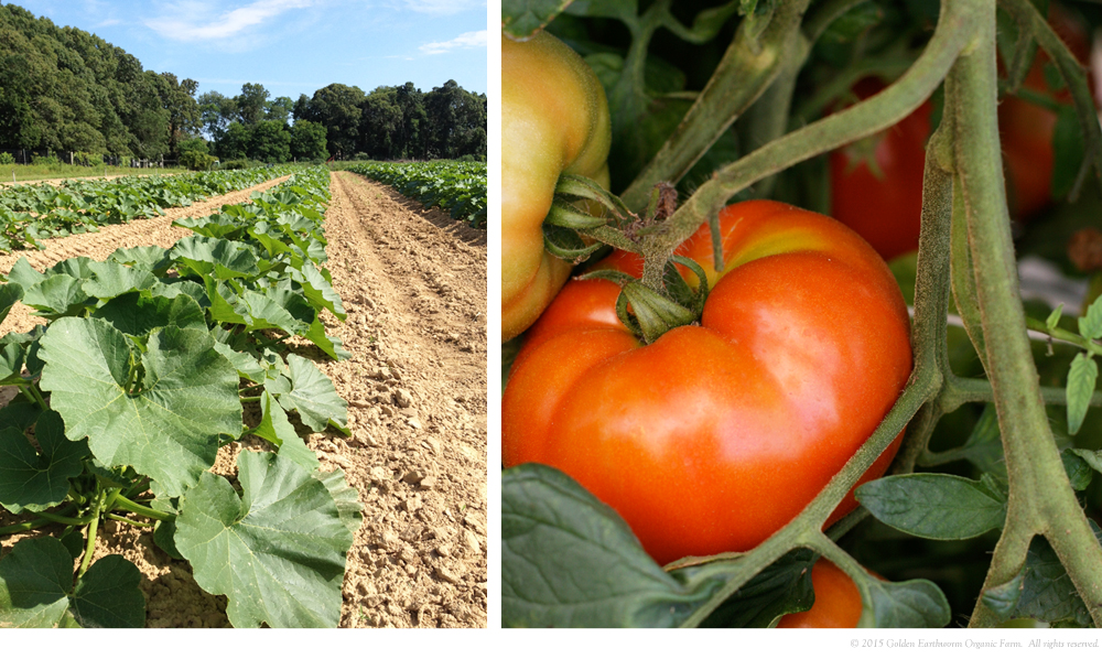 Left: Winter Squash crop, Right: Tomatoes ripening on the vine