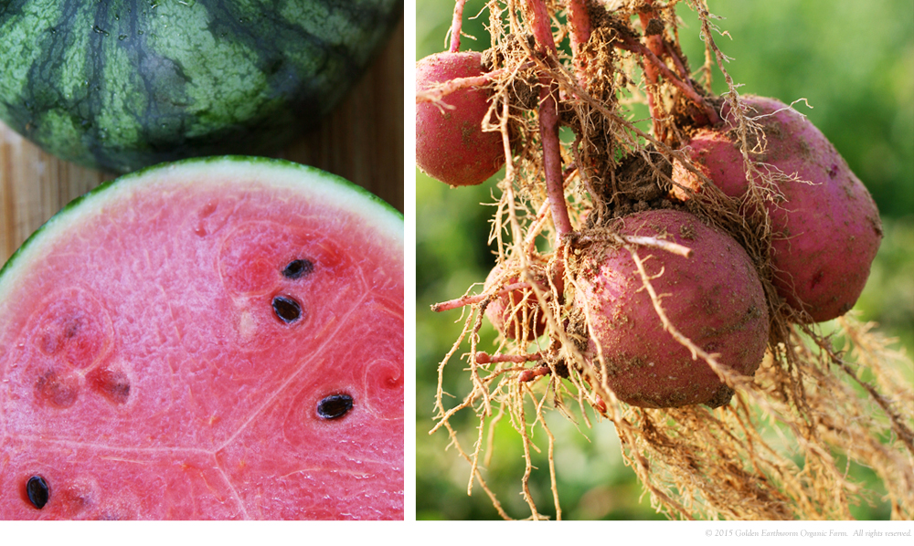 Watermelon, Purple Potatoes still attached to the roots.