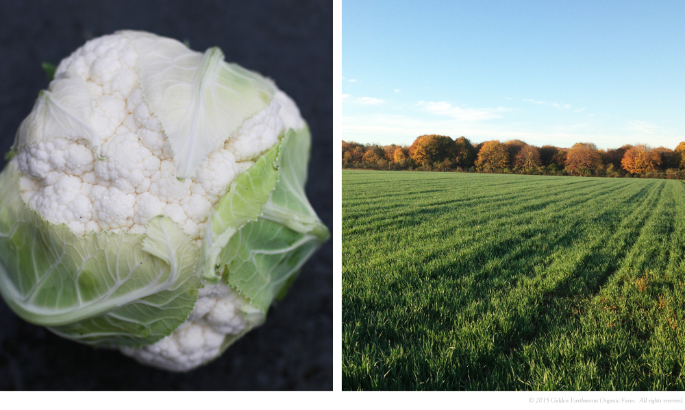 Cauliflower & Beautiful Cover Crops