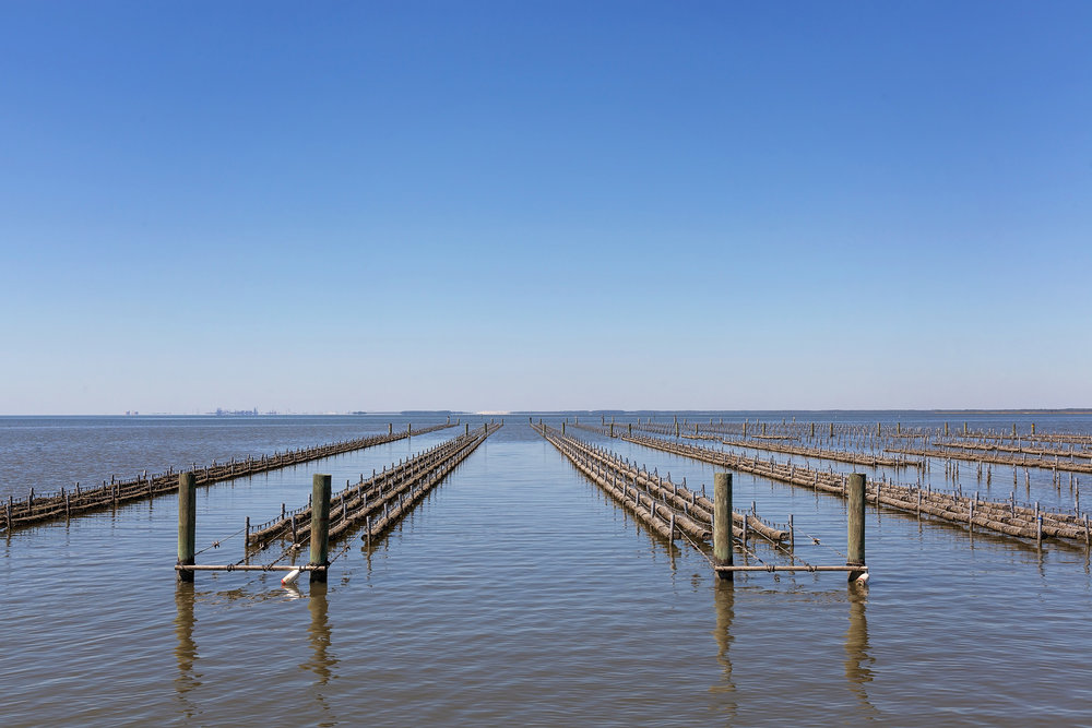 An overall view of the Oyster Baskets sunning in the Delta.