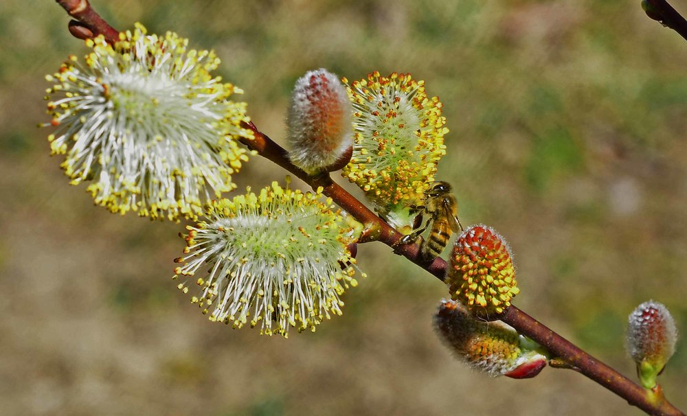 French Pussy Willow, Salix Discolor