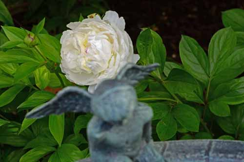 Angel and the First Peony