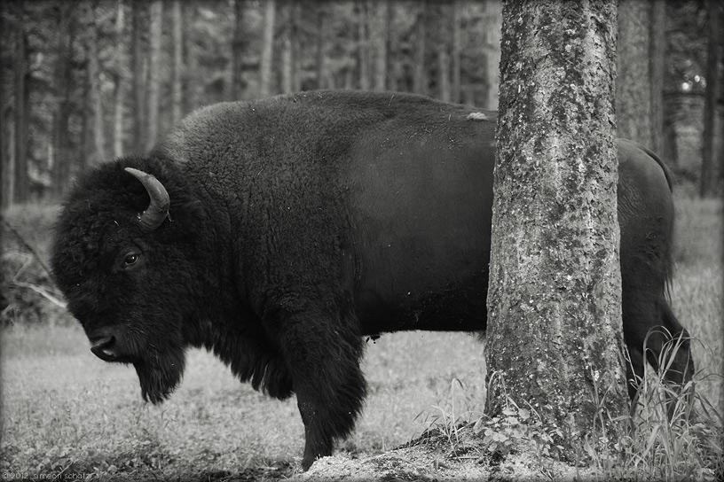 35mm_digital_buffalo1.jpg