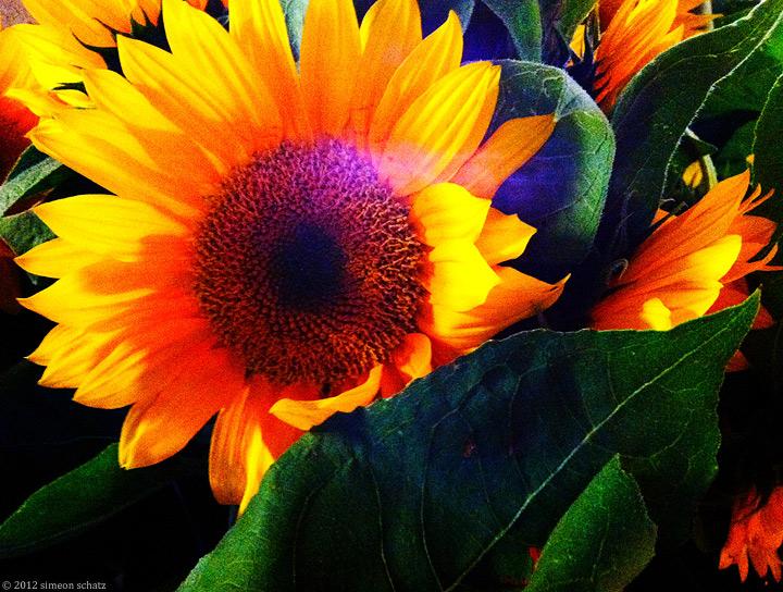 iphone_sunflowers1.jpg